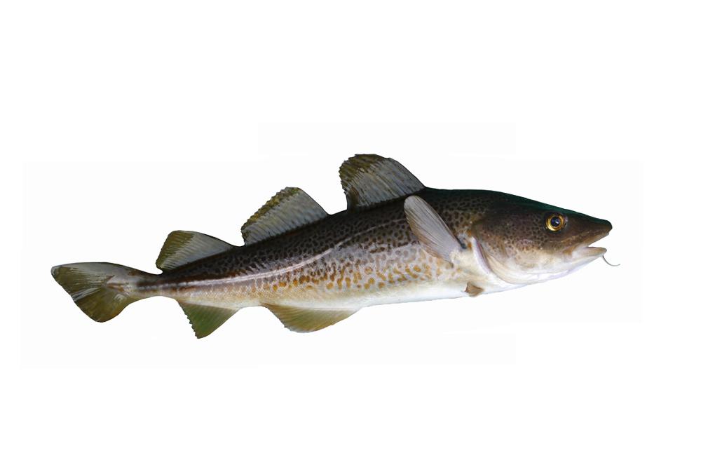 Liman Fisch-Restaurant Kabeljau